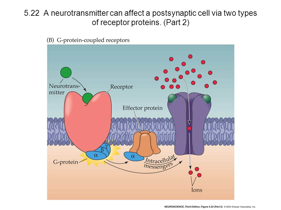 5.22 A neurotransmitter can affect a postsynaptic cell via two types of receptor proteins. (Part 2)
