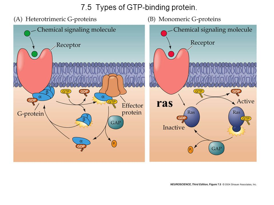 7.5 Types of GTP-binding protein.