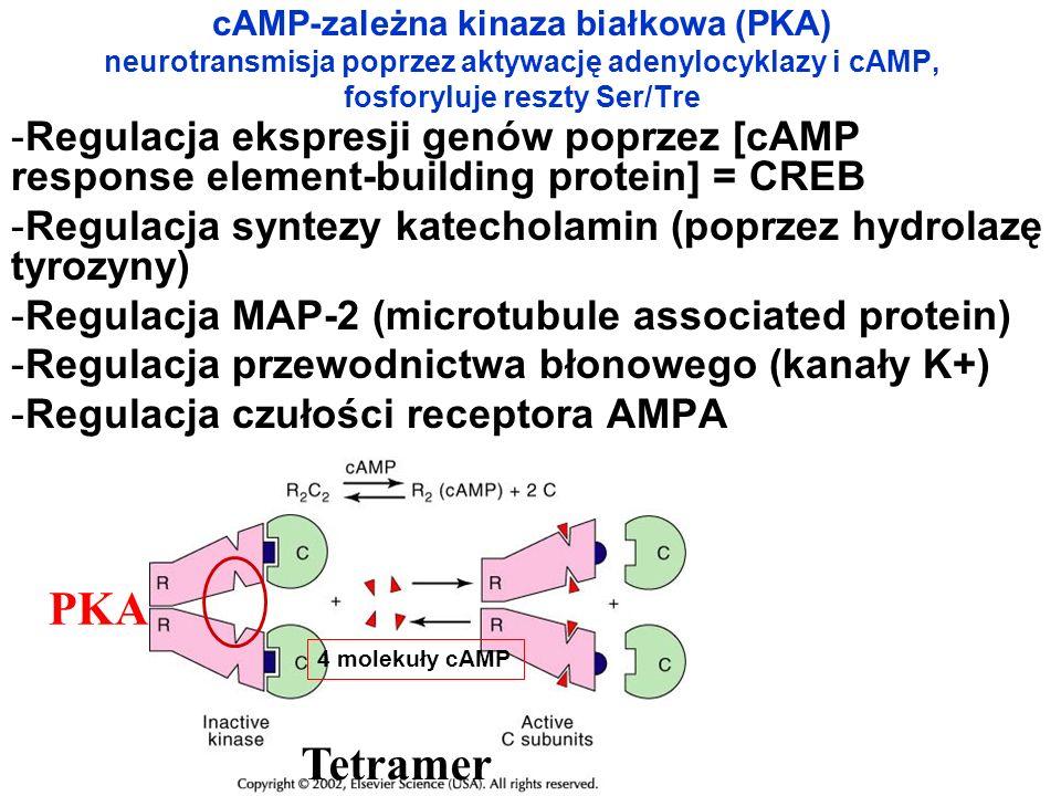cAMP-zależna kinaza białkowa (PKA) neurotransmisja poprzez aktywację adenylocyklazy i cAMP, fosforyluje reszty Ser/Tre