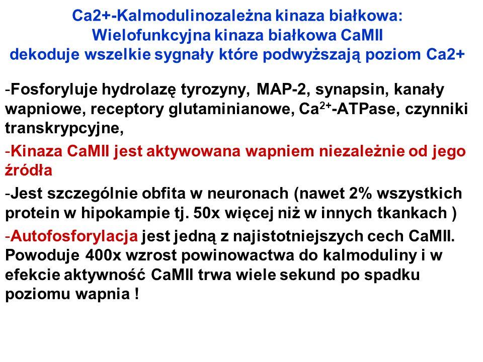 Ca2+-Kalmodulinozależna kinaza białkowa: Wielofunkcyjna kinaza białkowa CaMII dekoduje wszelkie sygnały które podwyższają poziom Ca2+