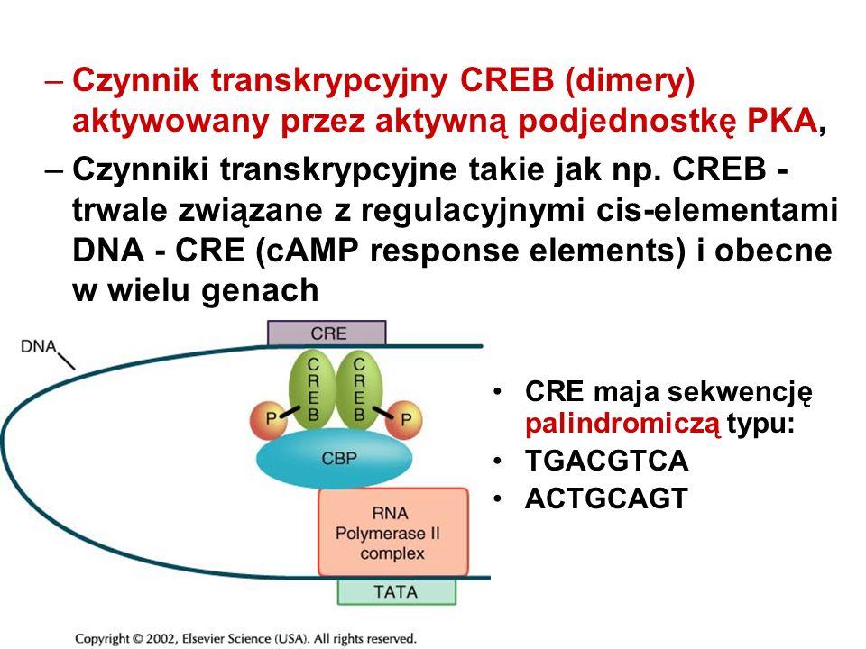 Czynnik transkrypcyjny CREB (dimery) aktywowany przez aktywną podjednostkę PKA,