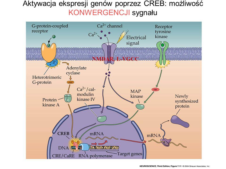 Aktywacja ekspresji genów poprzez CREB: możliwość KONWERGENCJI sygnału