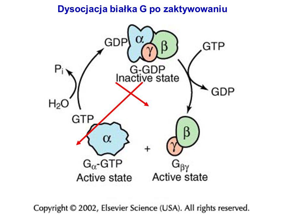 Dysocjacja białka G po zaktywowaniu