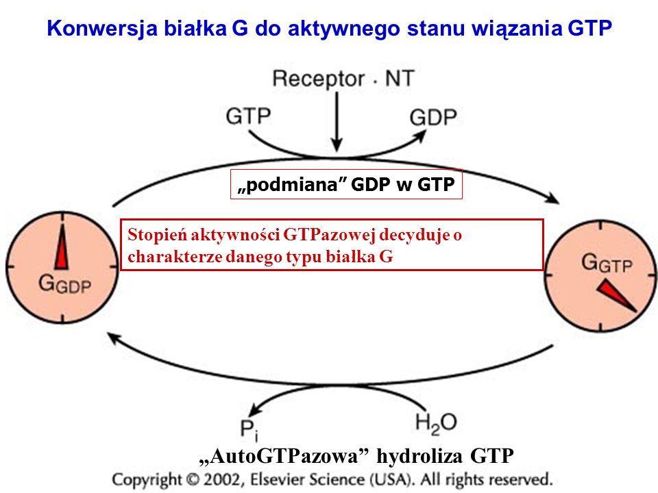Konwersja białka G do aktywnego stanu wiązania GTP