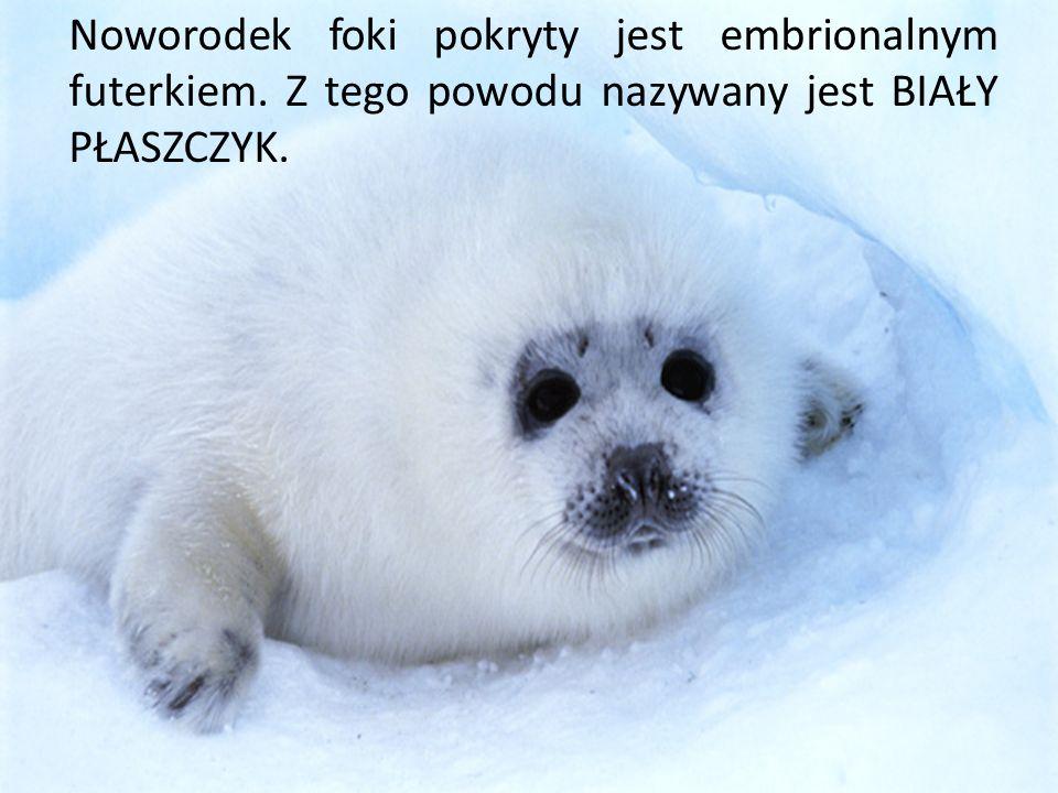 Noworodek foki pokryty jest embrionalnym futerkiem