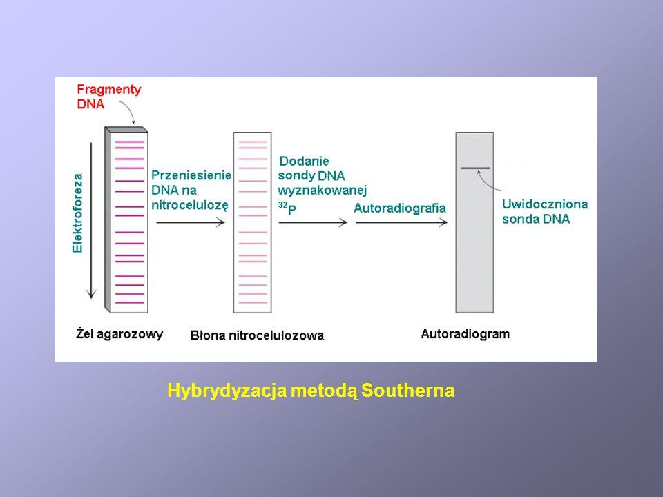 Hybrydyzacja metodą Southerna