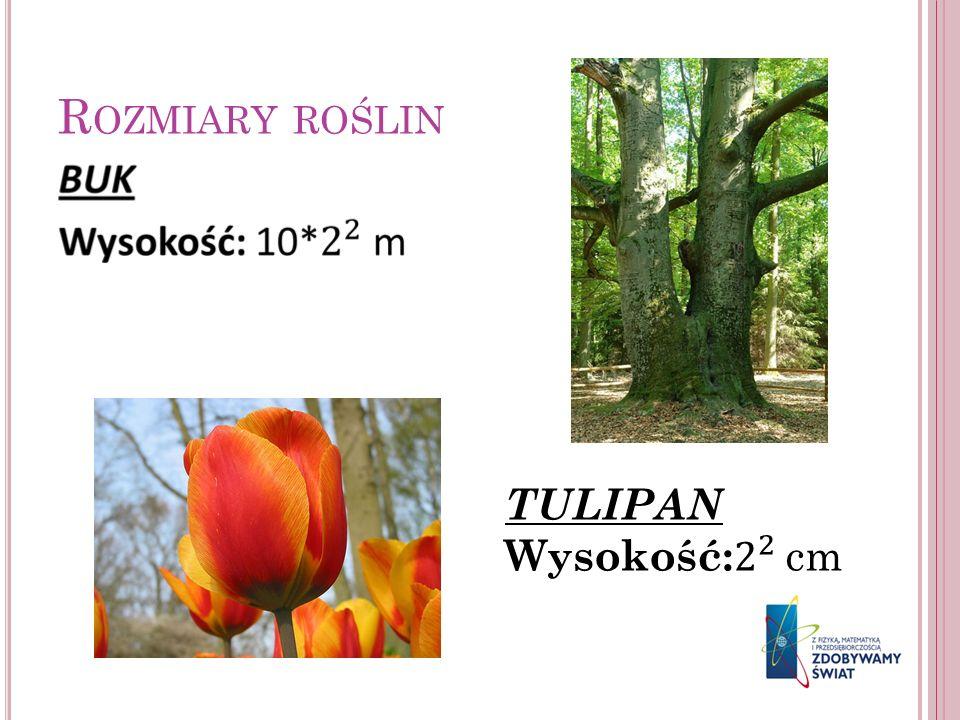 Rozmiary roślin TULIPAN Wysokość: 2 2 cm