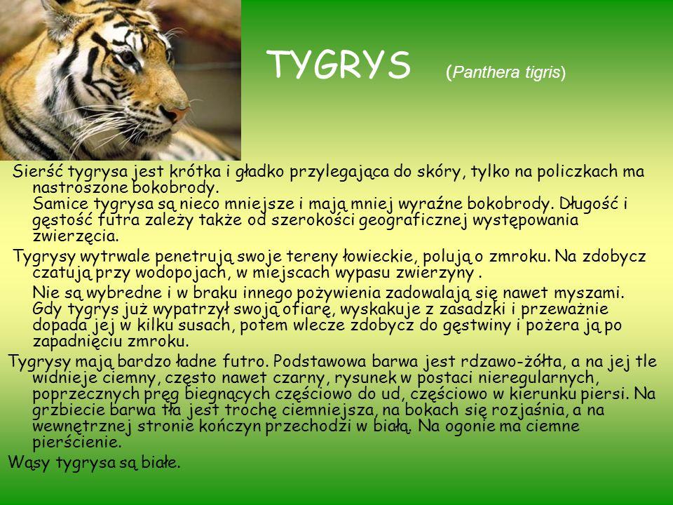 TYGRYS (Panthera tigris)