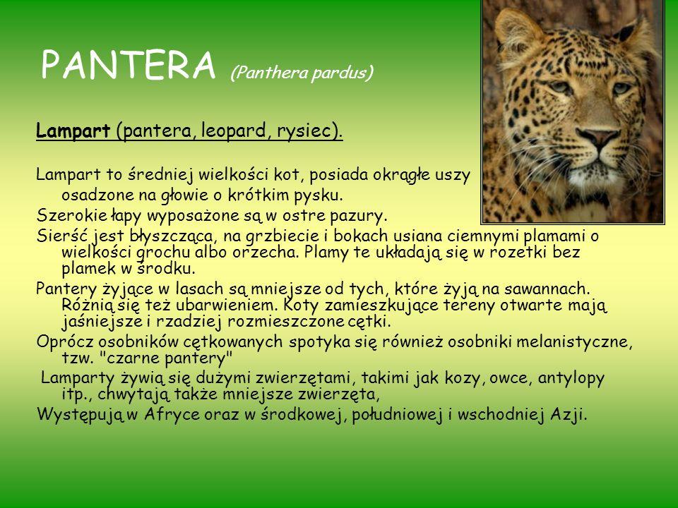 PANTERA (Panthera pardus)
