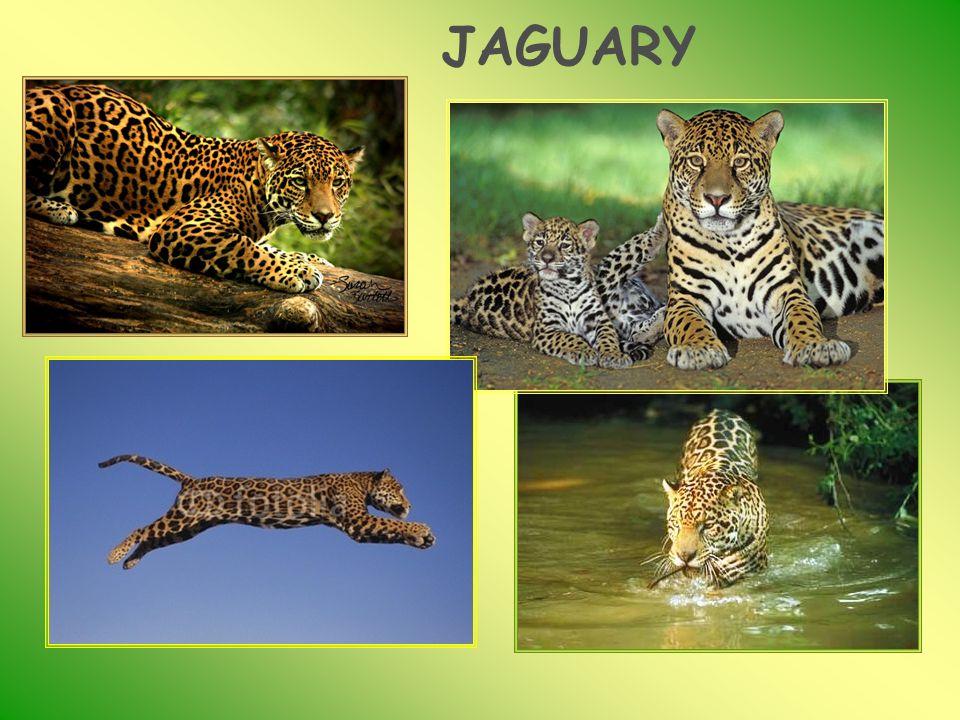 JAGUARY