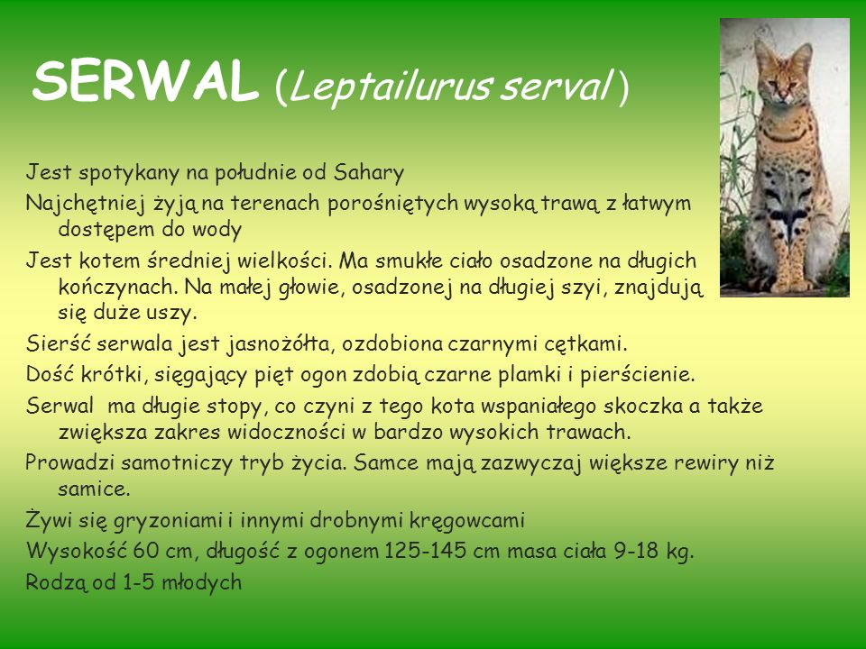 SERWAL (Leptailurus serval )