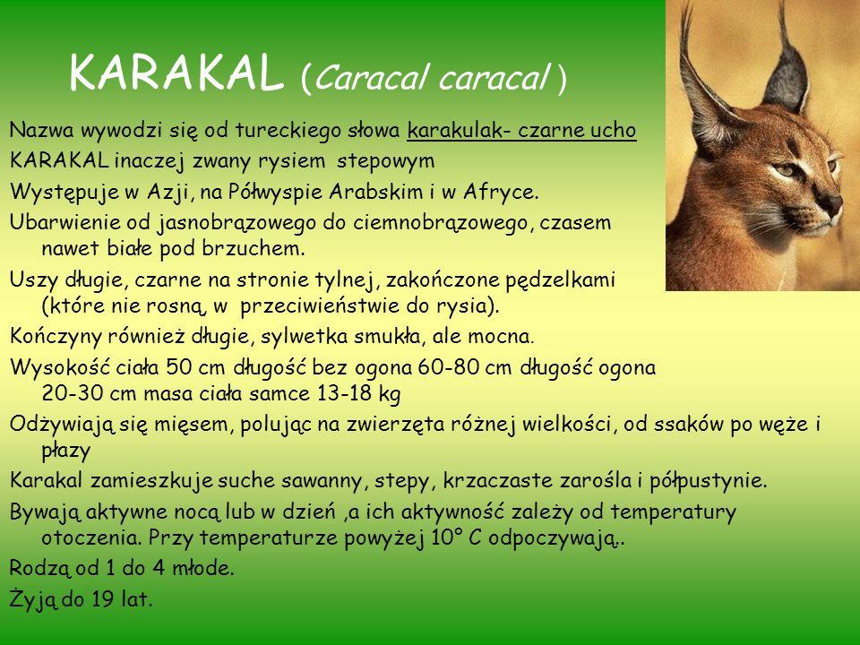 KARAKAL (Caracal caracal )