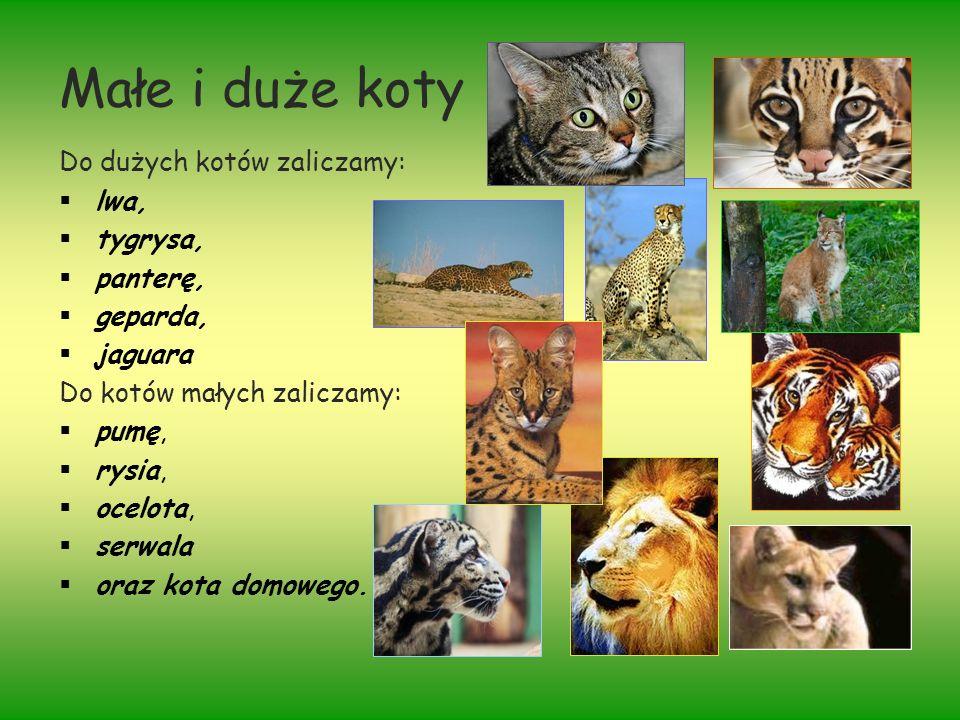 Małe i duże koty Do dużych kotów zaliczamy: lwa, tygrysa, panterę,