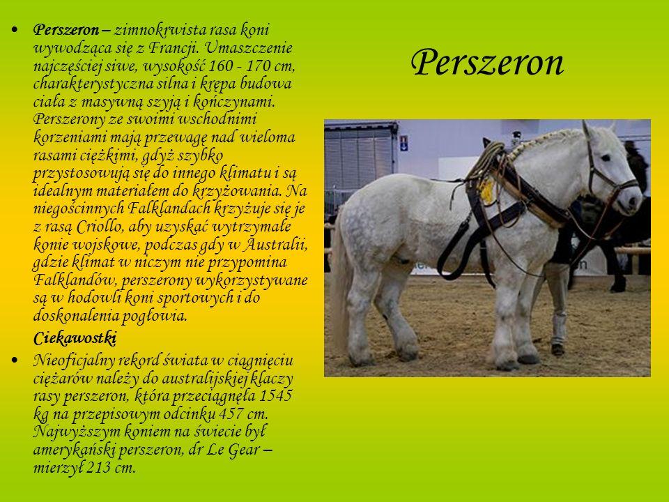 Perszeron – zimnokrwista rasa koni wywodząca się z Francji