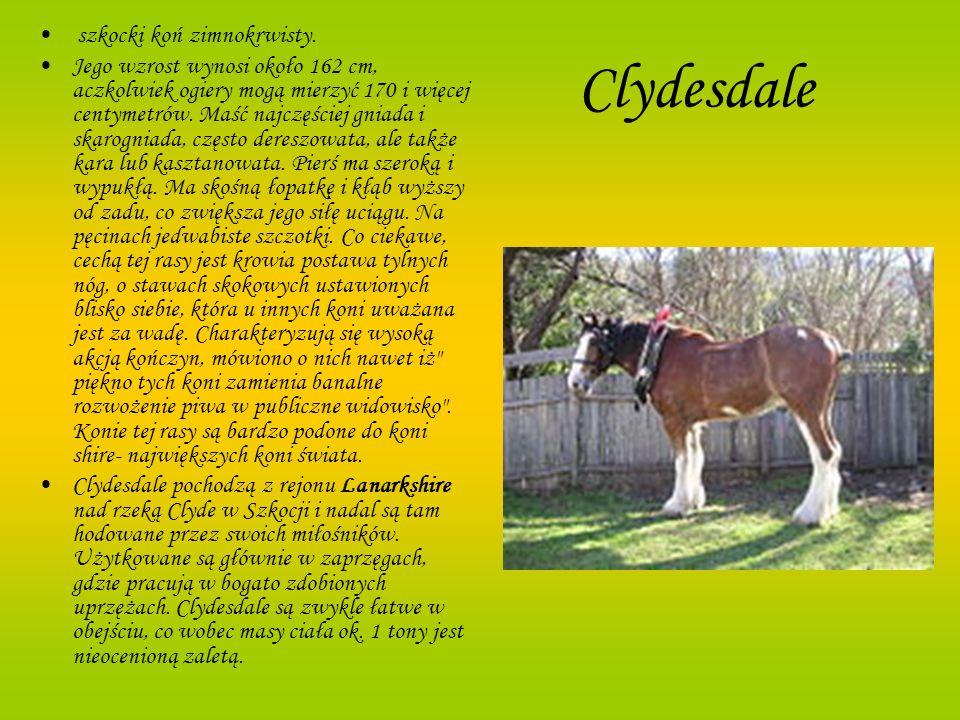 Clydesdale szkocki koń zimnokrwisty.