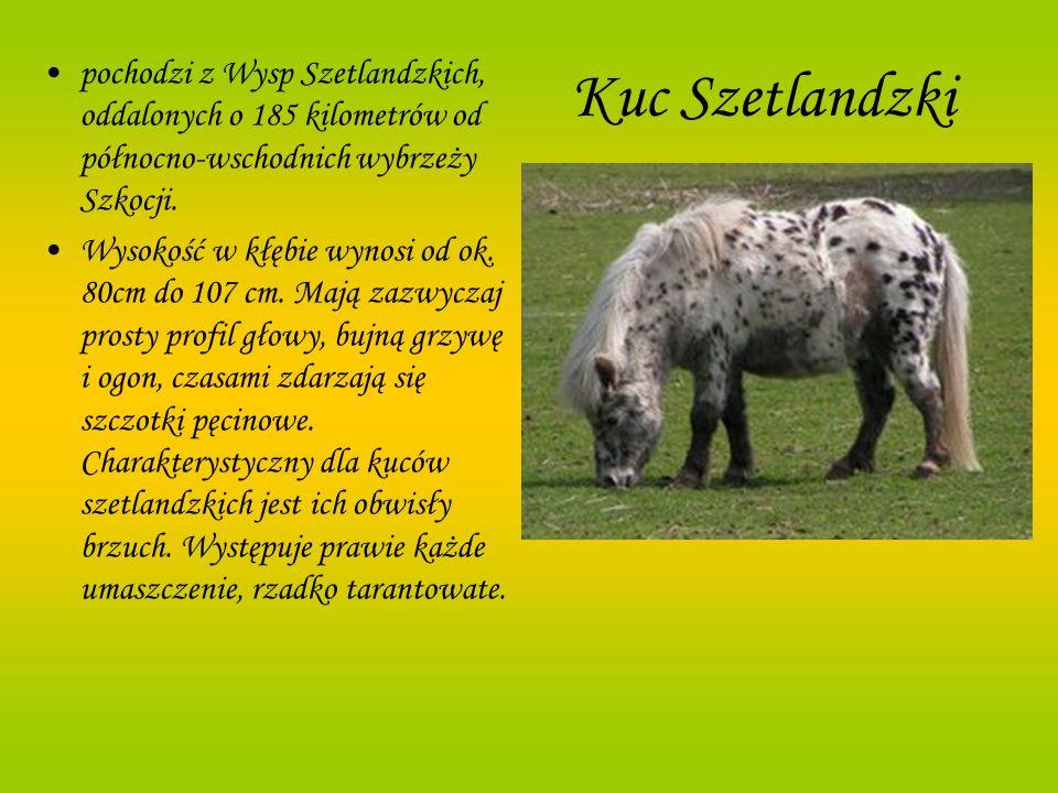 Kuc Szetlandzkipochodzi z Wysp Szetlandzkich, oddalonych o 185 kilometrów od północno-wschodnich wybrzeży Szkocji.