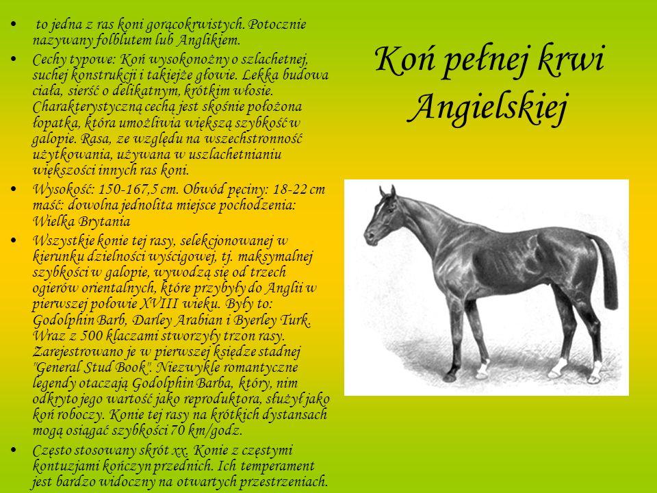 Koń pełnej krwi Angielskiej