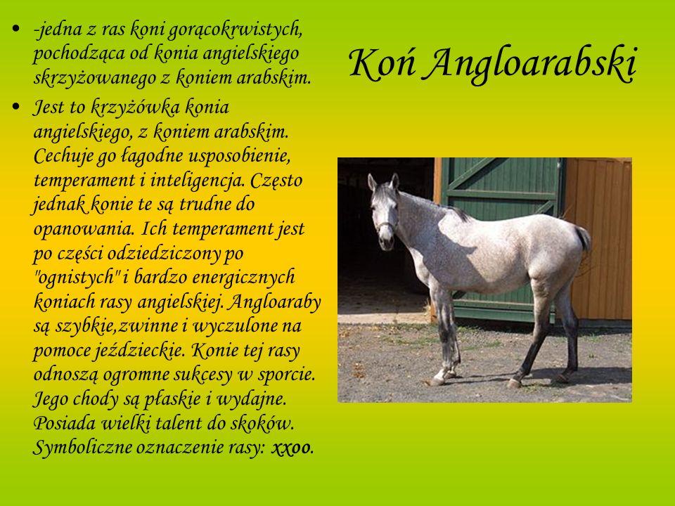-jedna z ras koni gorącokrwistych, pochodząca od konia angielskiego skrzyżowanego z koniem arabskim.