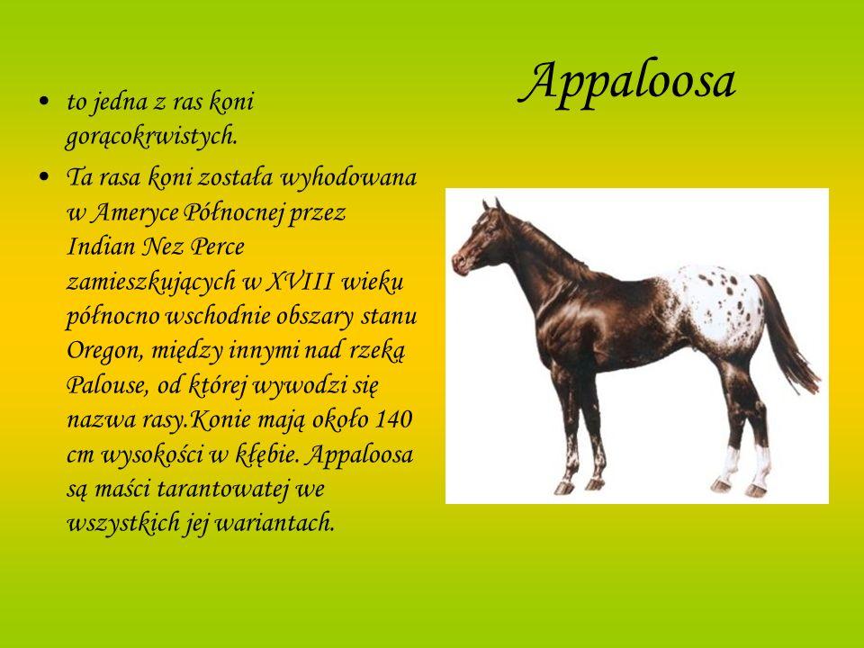 Appaloosa to jedna z ras koni gorącokrwistych.