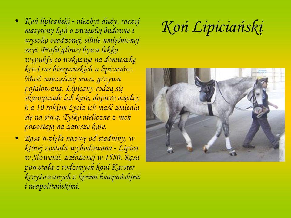 Koń Lipiciański