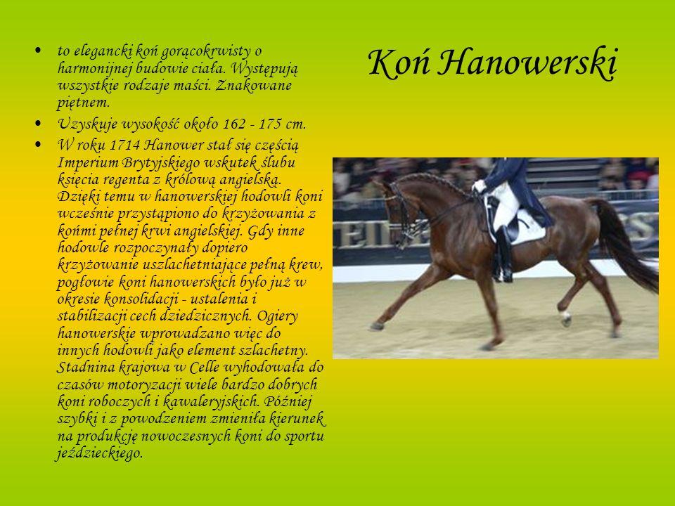Koń Hanowerskito elegancki koń gorącokrwisty o harmonijnej budowie ciała. Występują wszystkie rodzaje maści. Znakowane piętnem.