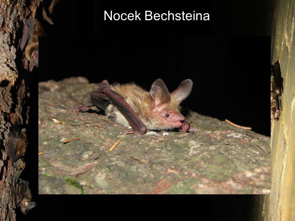 Nocek Bechsteina