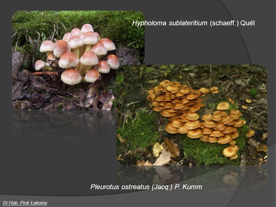 Hypholoma sublateritium (schaeff.) Quél