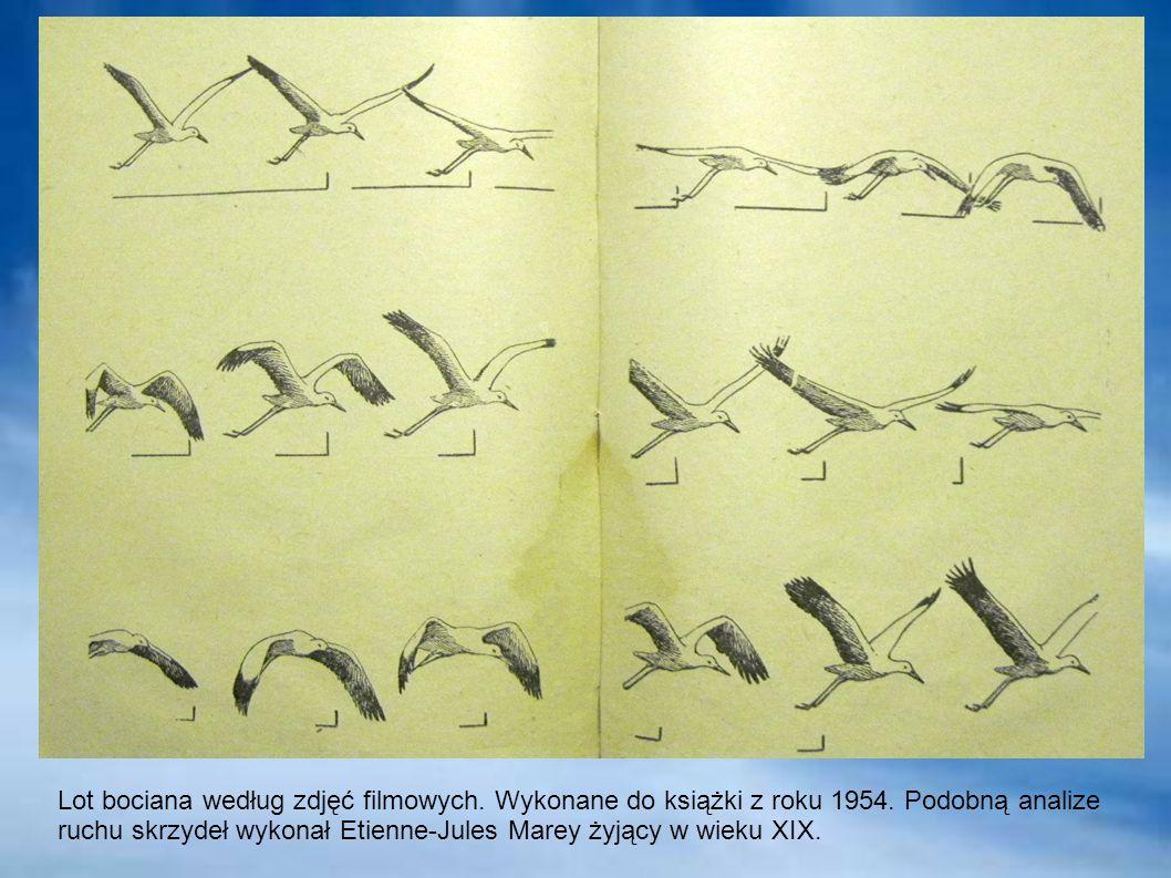 Lot bociana według zdjęć filmowych. Wykonane do książki z roku 1954