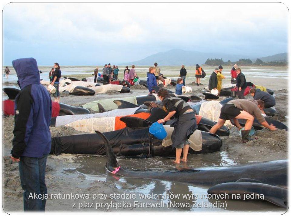 Akcja ratunkowa przy stadzie wielorybów wyrzuconych na jedną z plaż przylądka Farewell (Nowa Zelandia).
