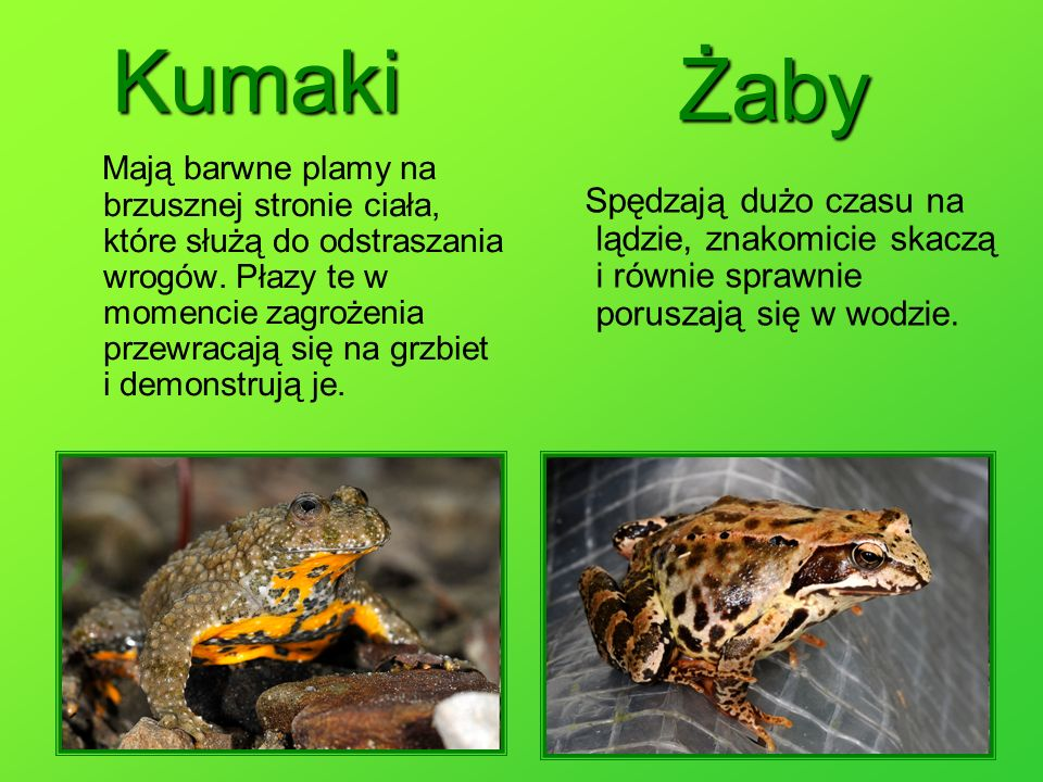 Kumaki Żaby.