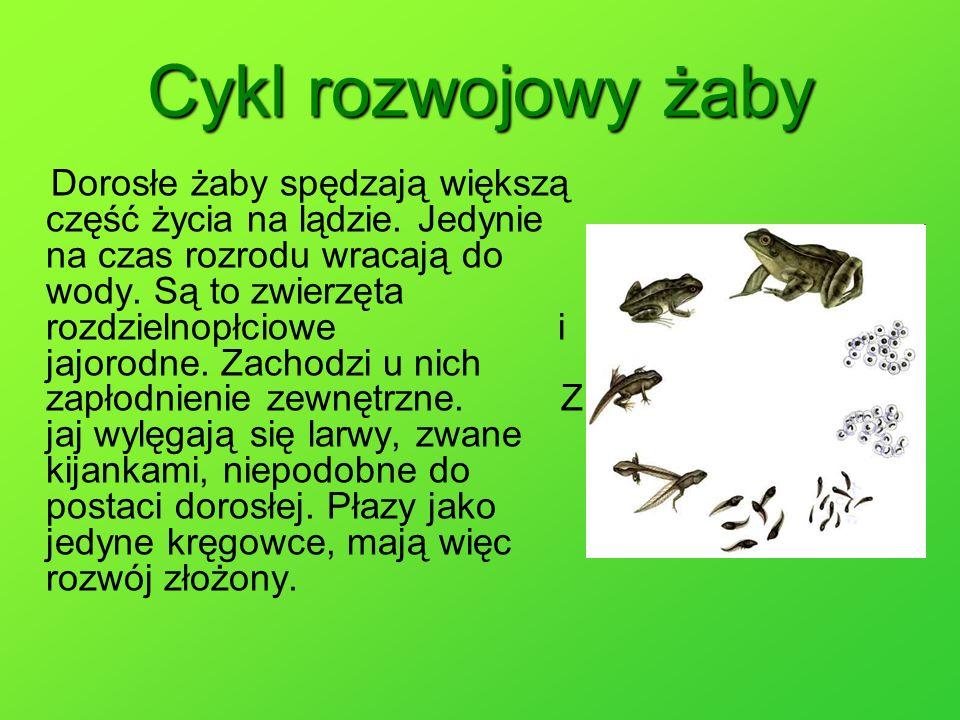 Cykl rozwojowy żaby