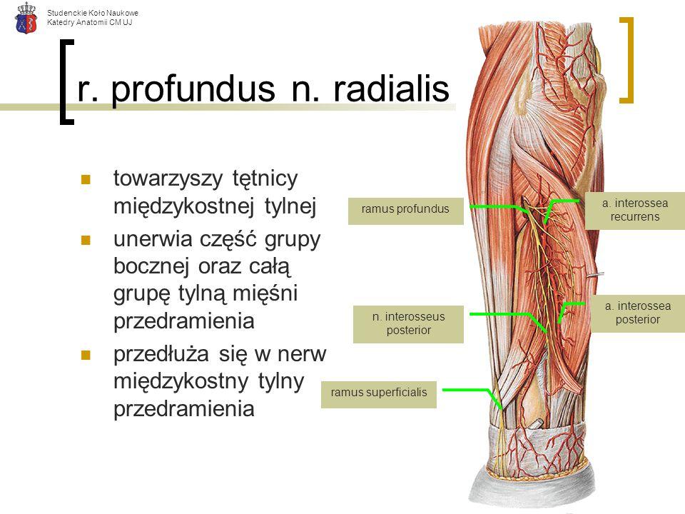 r. profundus n. radialis towarzyszy tętnicy międzykostnej tylnej