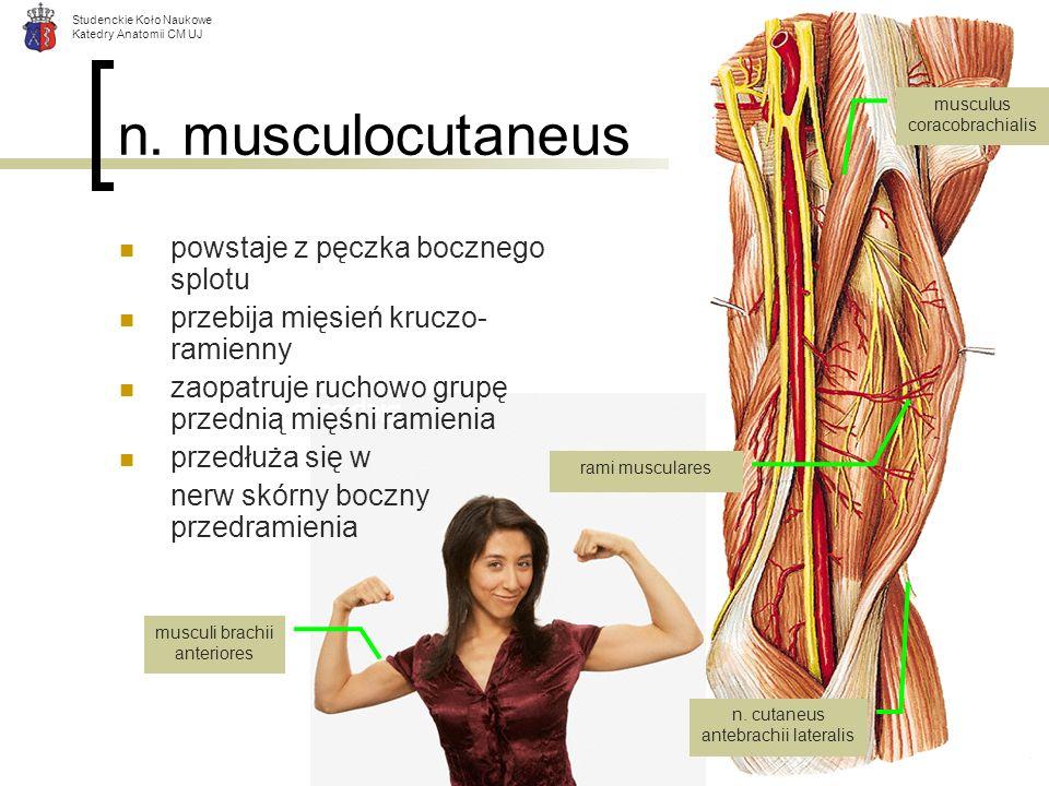 n. musculocutaneus powstaje z pęczka bocznego splotu