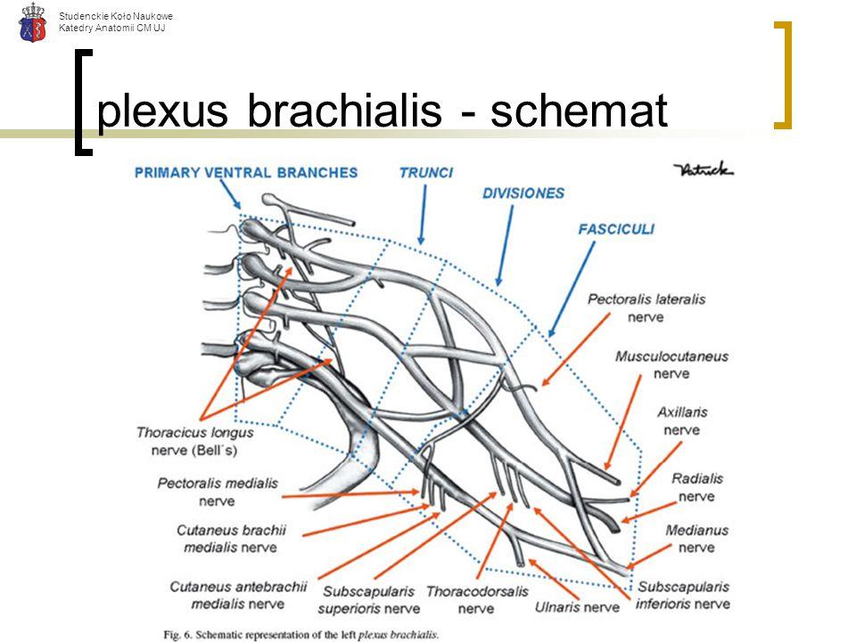 plexus brachialis - schemat