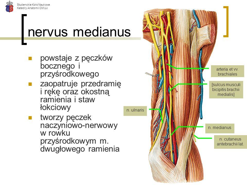 nervus medianus powstaje z pęczków bocznego i przyśrodkowego