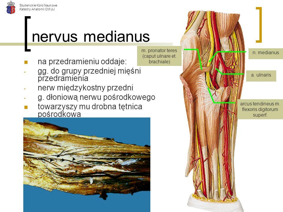 nervus medianus na przedramieniu oddaje: