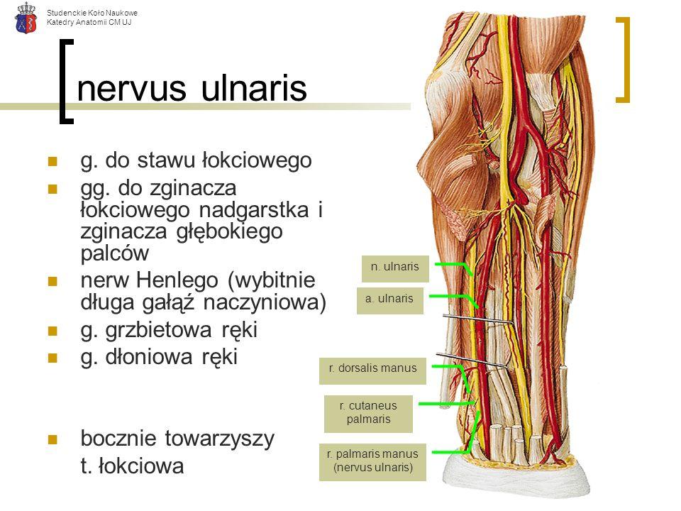 nervus ulnaris g. do stawu łokciowego