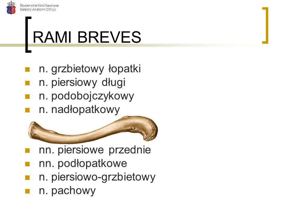RAMI BREVES n. grzbietowy łopatki n. piersiowy długi n. podobojczykowy