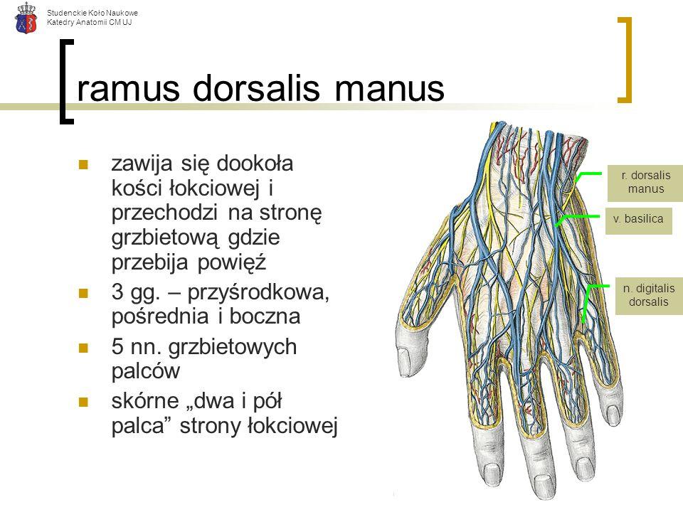 ramus dorsalis manus zawija się dookoła kości łokciowej i przechodzi na stronę grzbietową gdzie przebija powięź.