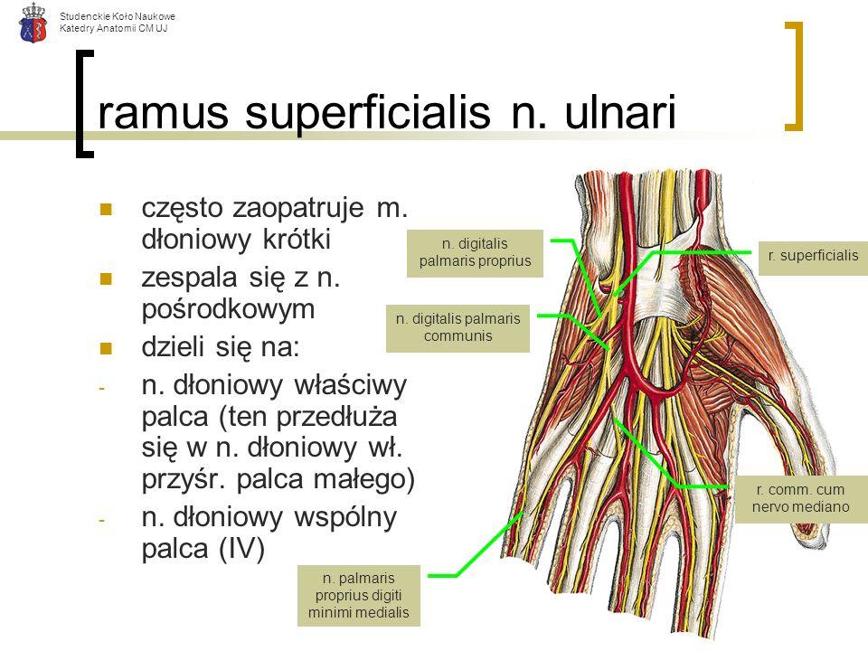 ramus superficialis n. ulnari