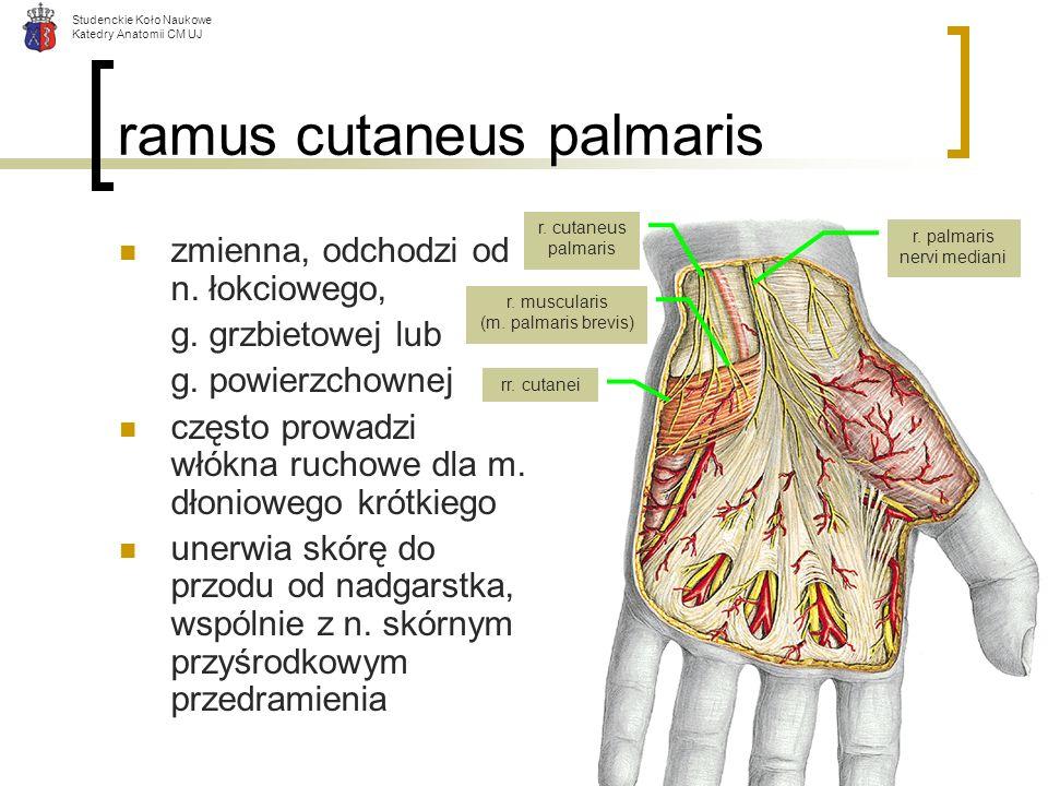 ramus cutaneus palmaris