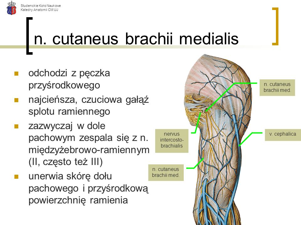 n. cutaneus brachii medialis