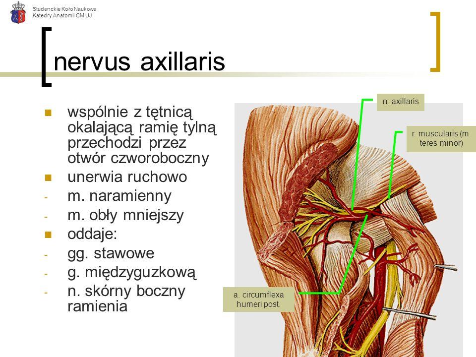 nervus axillaris n. axillaris. wspólnie z tętnicą okalającą ramię tylną przechodzi przez otwór czworoboczny.