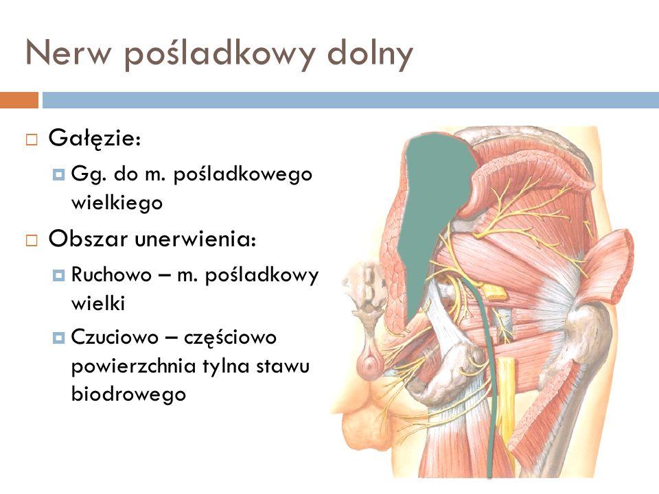 Nerw pośladkowy dolny Gałęzie: