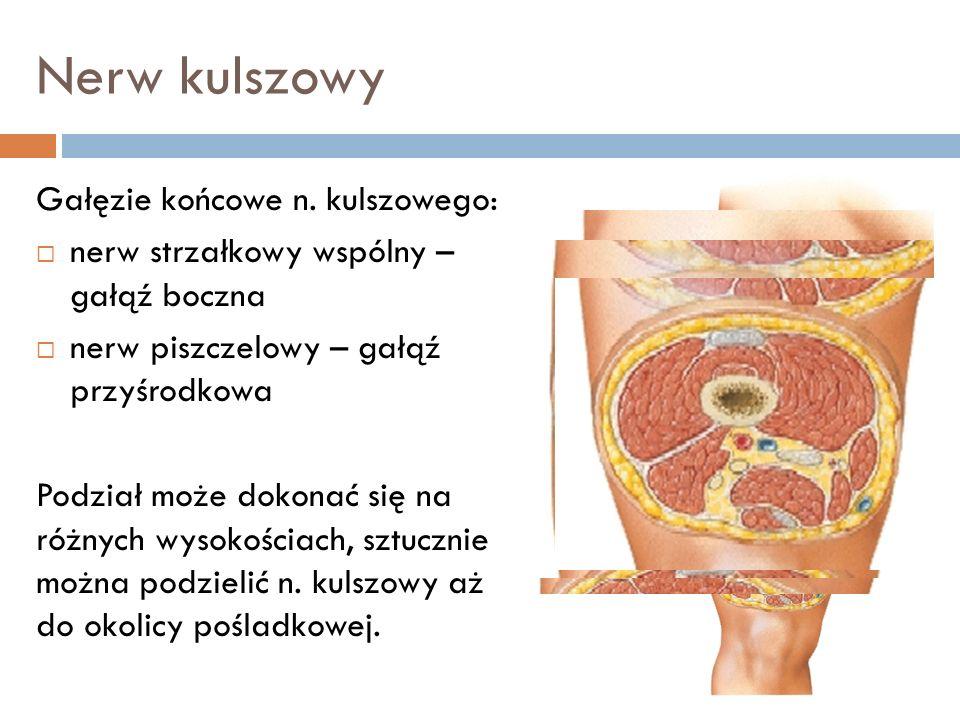 Nerw kulszowy Gałęzie końcowe n. kulszowego: