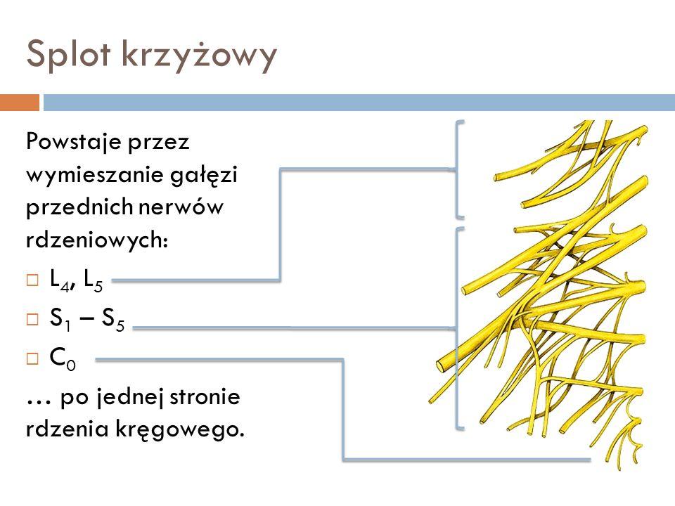 Splot krzyżowy Powstaje przez wymieszanie gałęzi przednich nerwów rdzeniowych: L4, L5. S1 – S5.