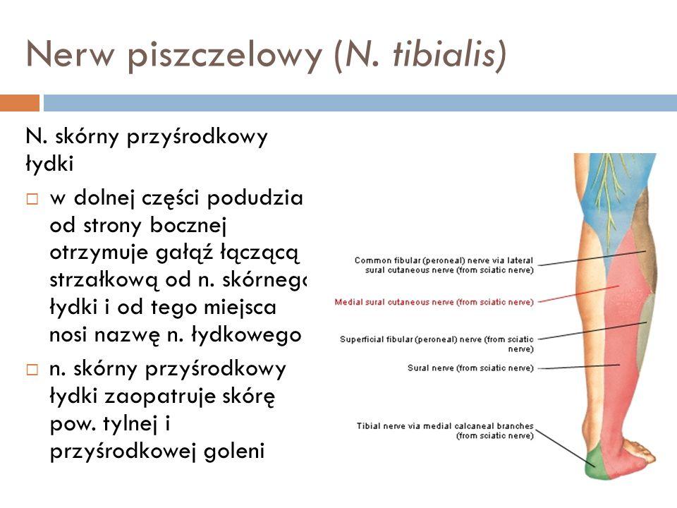 Nerw piszczelowy (N. tibialis)