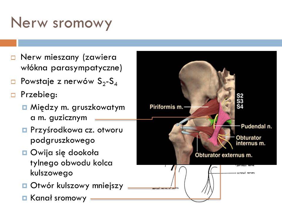 Nerw sromowy Nerw mieszany (zawiera włókna parasympatyczne)