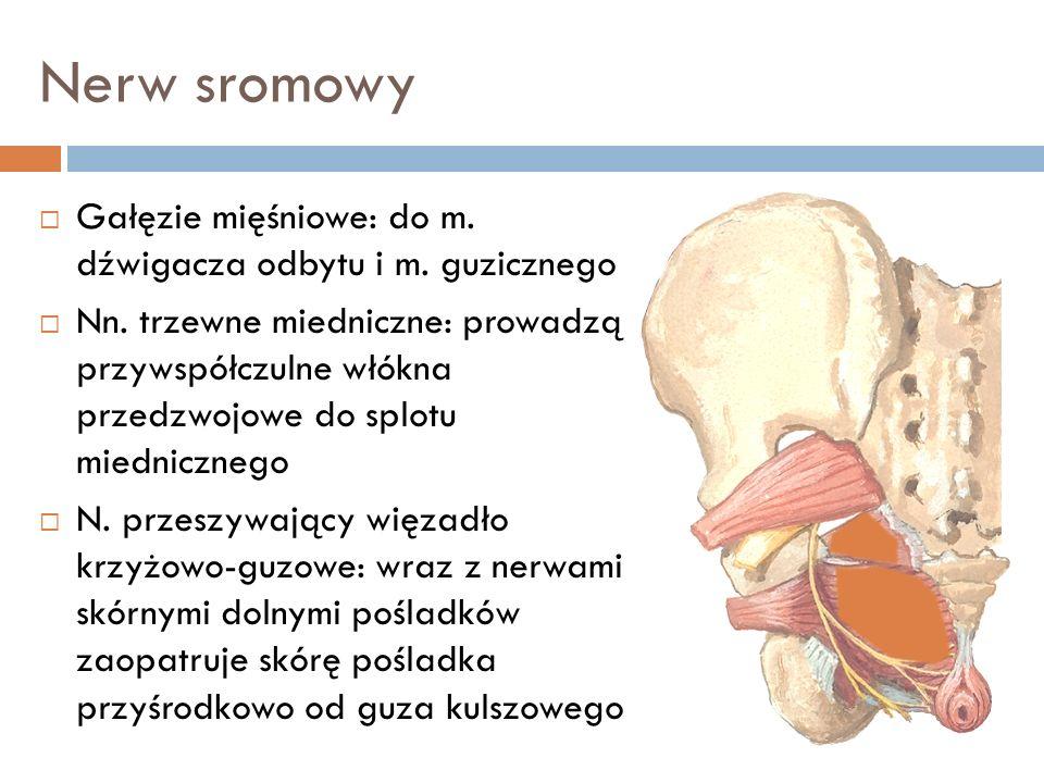 Nerw sromowy Gałęzie mięśniowe: do m. dźwigacza odbytu i m. guzicznego