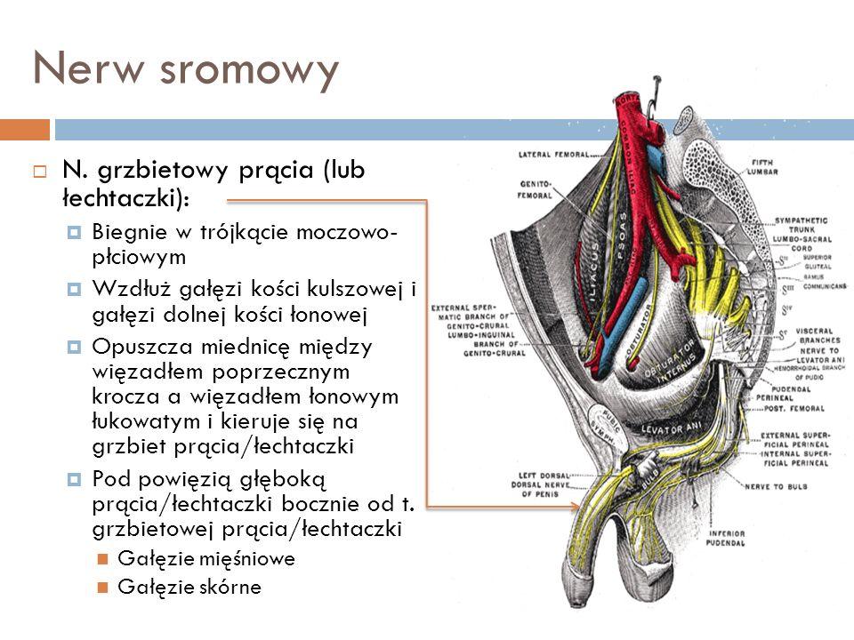 Nerw sromowy N. grzbietowy prącia (lub łechtaczki):